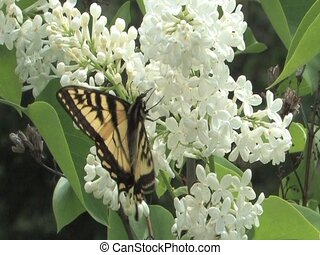 Swallowtail butterfly on a white lilac flower