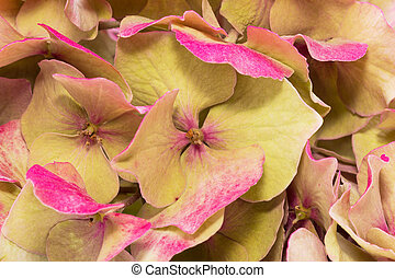 background of dried hydrangea flowers close up