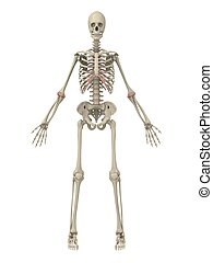 human, esqueleto