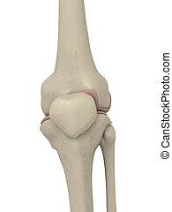 skeletal knee - 3d rendered illustration of a human skeletal...