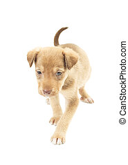 Funny puppy walks unsteadily on a white background isolated