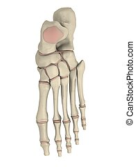 skeletal foot - 3d rendered anatomy illustration of a human...