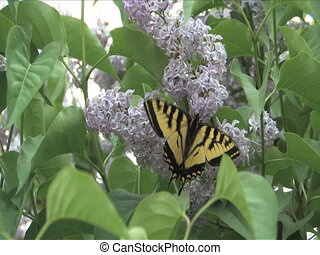 butterfly - Swallowtail butterfly on Lilac