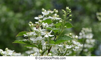 bees bush white flower - bees fly from blackberry rubus...