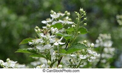 bees bush white flower - bees fly from blackberry rubus...