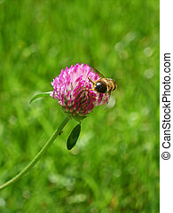 Red clover flower - Bee collect pollen on red clover flower...