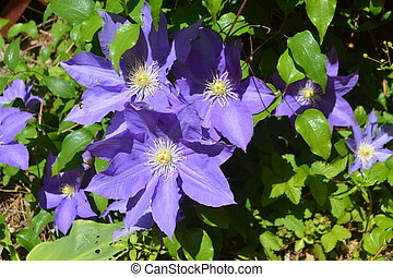 Purple Clematis Flower - A flowering vine with a bright...