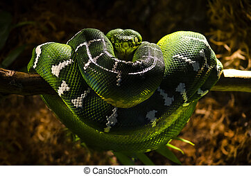 Starring green snake
