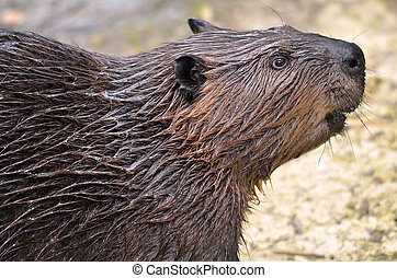 Portrait of North American Beaver - Profile portrait of...