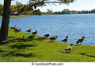 Canada geese on the lake. - A few Canada geese on the Redeau...