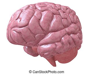 human brain - 3d rendered illustration of a human brain