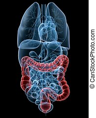 highlighted colon - 3d rendered anatomy illustration of...