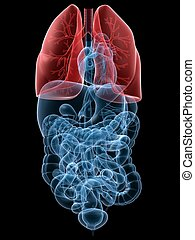 highlighted lung - 3d rendered anatomy illustration of human...