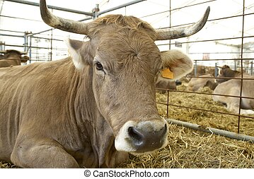 Cow - Close-up of a cow in a cattle fair.