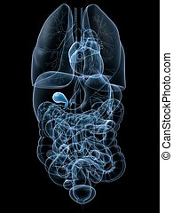 humano, vesícula biliar