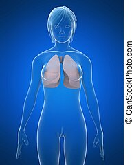 female lung - 3d rendered illustration of a transparent...