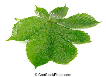 Horse Chestnut Leaf Isolated on White Background - A...