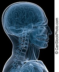 x-ray head - 3d rendered x-ray illustration of a human head