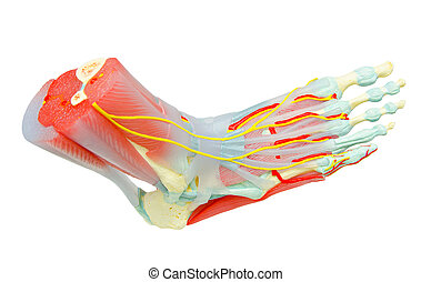 humano, pie, Músculos, anatomía, modelo, para,...