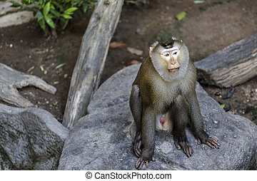 Pig-tailed macaque - Monkey (Pig-tailed macaque)