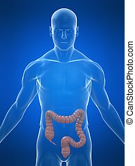 human colon - 3d rendered illustration of a transparent body...