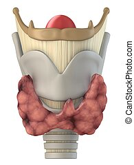human larynx - 3d rendered anatomy illustration of human...