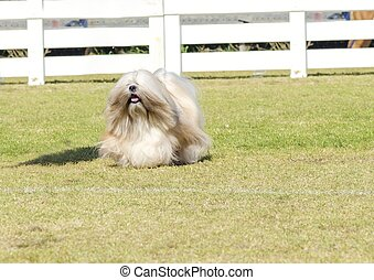 Lhasa Apso - A portrait view of a small young light tan,...