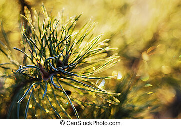 Pine tree - Background from pine tree branches with morning...