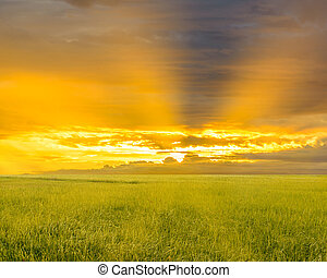 Rice field with sun rise