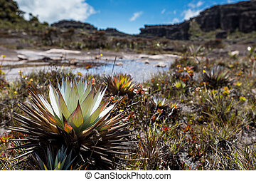 A very rare endemic plants on the plateau of Roraima -...