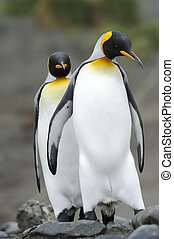King Penguin Aptenodytes patagonicus - Two King Penguin...