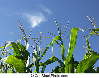 Corn stalks growing in blue sky