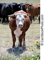 Young Hereford bull