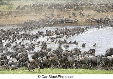 átkelés, Folyó,  wildebeest,  Mara