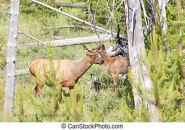 Cow elk and calf - Cow elk wapiti and calf, hiding in the...