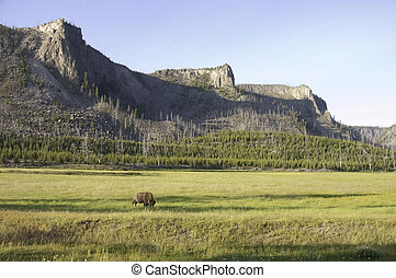solitary buffalo - Yellowstone park solitary buffalo in...