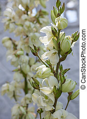 yucca - the yucca flowers. close-up plant