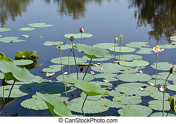 Lotus petals - Lotus pond with buds, green leaves and pink...