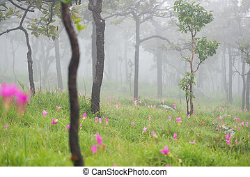flower Wild siam tulip blooming - Curcuma alismatifolia,...