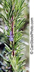 green Rosemary with flower