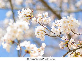 Yoshino cherry blossom in bloom - Yoshino cherry blossom in...