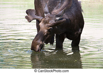 A Bull Moose drinking from a pond.