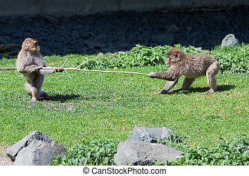 Two Japanese Macaque Fighting over a Stick