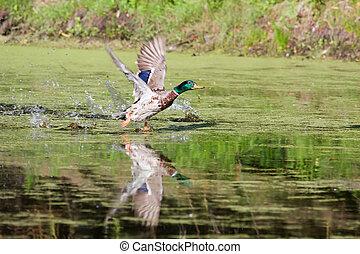 Mallard taking off - Mallard picking up speed to take off...