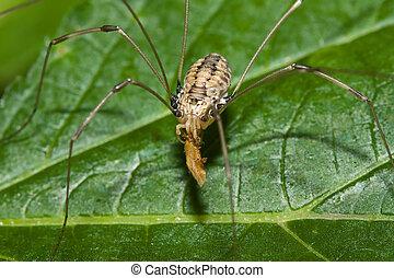 Harvestman eating a Bug - Harvestman on a leaf eating a Bug.