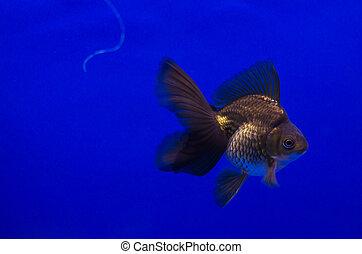 Goldfish in aquarium - Black goldfish in aquarium with with...