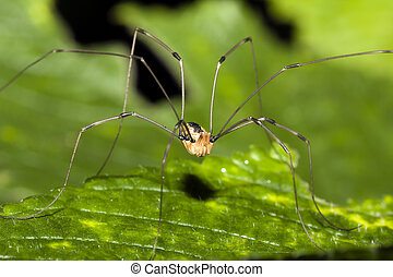 Harvestman or Daddy Long Legs standing on a leaf.