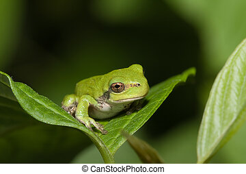 Immature gray tree frog