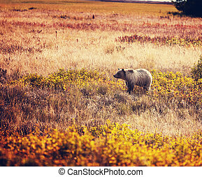 Bear - Grizzly bear in autumn season