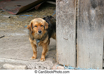 Brown watchdog - Chained small brown watchdog puppy in...
